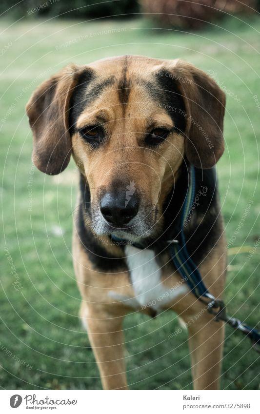 Hund auf Wiese schaut traurig strassenhund Traurig anschauen Draussen Stufe hundewiese haustier schwarz Canino Labrador welpe hübsch züchten Porträt säugetier