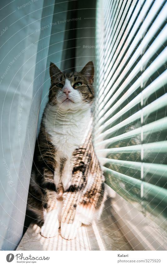 Katze auf Fensterbank stolz sitzend katze fensterbank vorhang beobachten haustier getigert anschauen aufpassen weiß fensterlicht jalousie hell hübsch kätzchen