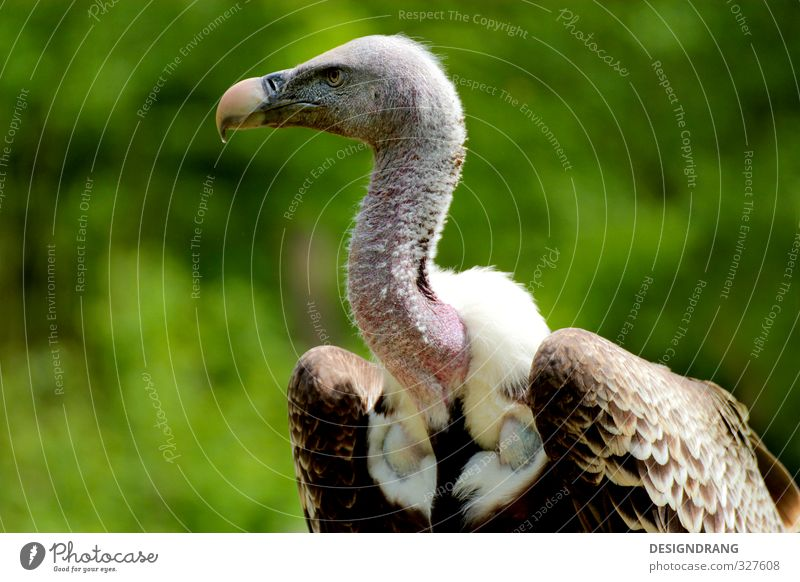 Weiß der Geier! Tier Wildtier Vogel Flügel 1 beobachten Bewegung fallen fangen fliegen füttern Jagd Blick Aggression ästhetisch braun weiß Zoo Greifvogel Feder