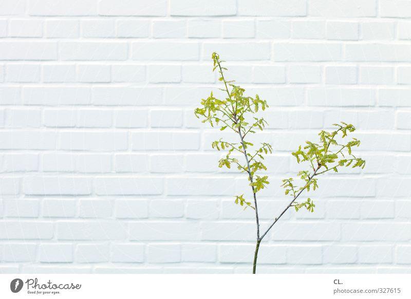 natur Umwelt Natur Frühling Pflanze Blatt Garten Park Mauer Wand Blühend Wachstum einfach Stadt grün weiß Ast Zweig grünen 1 einzeln klein minimalistisch