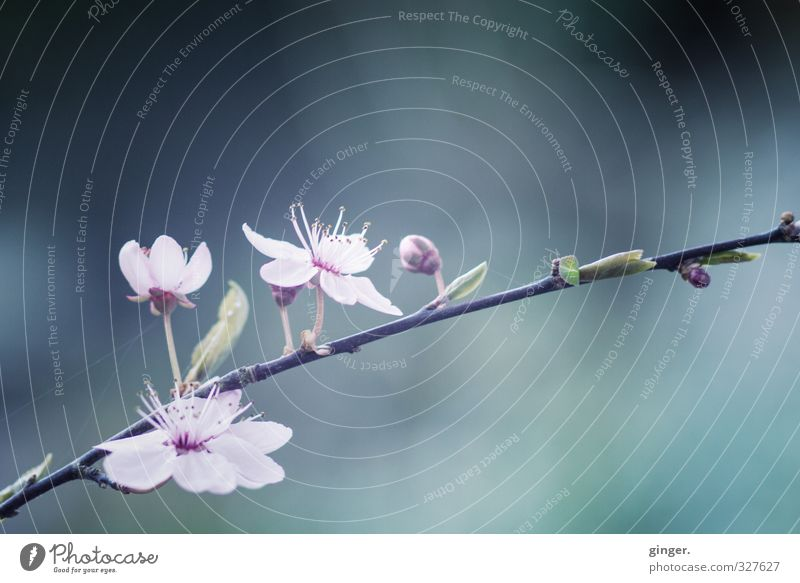 Before Umwelt Natur Pflanze Sträucher Blatt Blüte Wachstum Wandel & Veränderung Blütenstempel zart blau-grau rosa Zweig Frühling Makroaufnahme Lensbaby klein