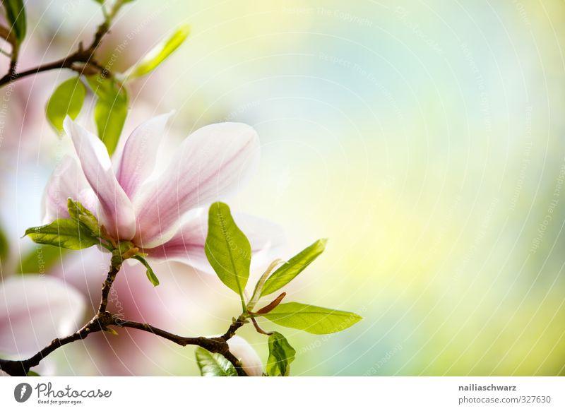 Magnolia Natur grün schön Sommer Pflanze Baum Farbe Blume Blatt Umwelt gelb Frühling Blüte Garten natürlich rosa