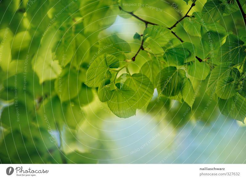 Blätter Umwelt Natur Pflanze Himmel Frühling Sommer Baum Blatt Ast Zweig Garten Park Wald Duft Wachstum Fröhlichkeit frisch natürlich positiv schön blau grün