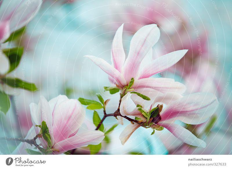 Magnolia Natur blau schön Sommer Pflanze Baum Blume Umwelt Wärme Frühling Blüte Garten natürlich rosa Park Wachstum