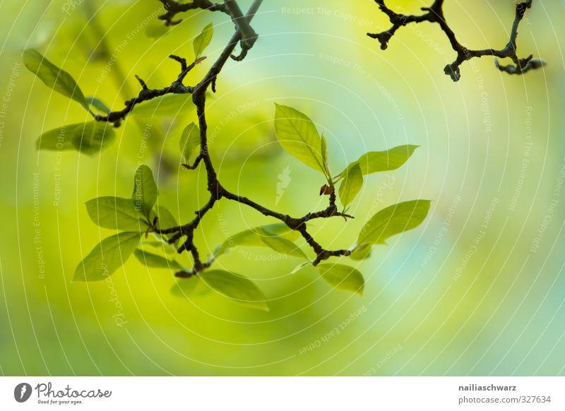 Frühling Umwelt Natur Pflanze Sommer Baum Blatt Magnolienbaum Garten Park Wachstum einfach Fröhlichkeit positiv schön blau grün Frühlingsgefühle Warmherzigkeit