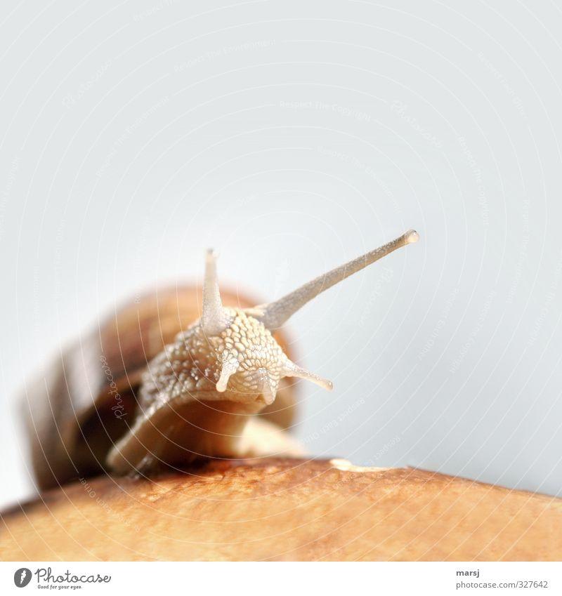 Soooo schleimig ... nackt Tier Bewegung natürlich braun Wildtier authentisch einfach beobachten Neugier Tiergesicht gruselig entdecken Schnecke krabbeln Ekel