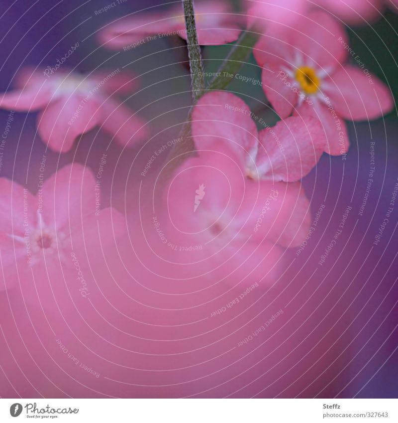 forget-me-not Valentinstag Geburtstag Natur Frühling Blume Blüte Wildpflanze Vergißmeinnicht Blütenpflanze Frühlingsblume Waldpflanze Rosylva Blühend nah