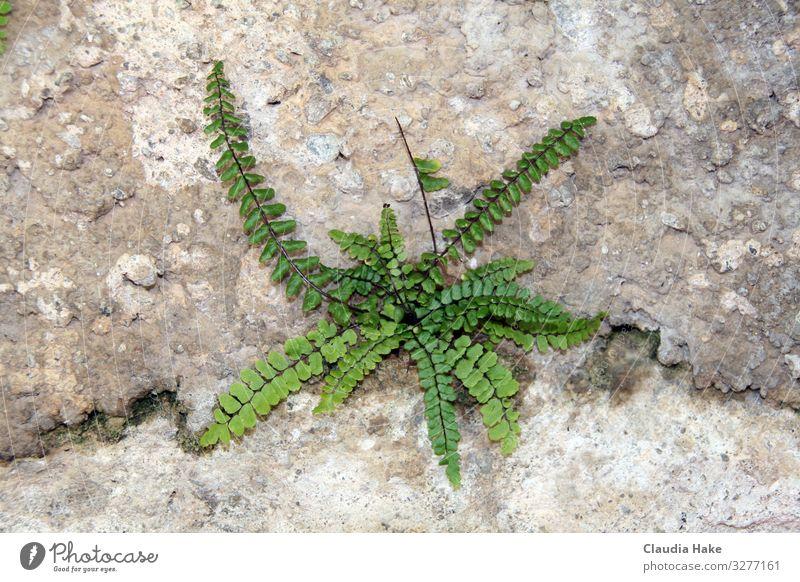 Starker Farn Umwelt Natur Pflanze Erde Blatt Grünpflanze Stein Sand Beton Erfolg stark trocken grün Umweltverschmutzung Umweltschutz Farbfoto Außenaufnahme