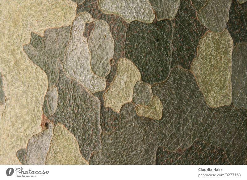 Rinde des Platanenbaums Umwelt Pflanze Baum Baumrinde Holz Ornament Linie Design Umweltschutz Camouflage Farbfoto Gedeckte Farben Außenaufnahme Nahaufnahme