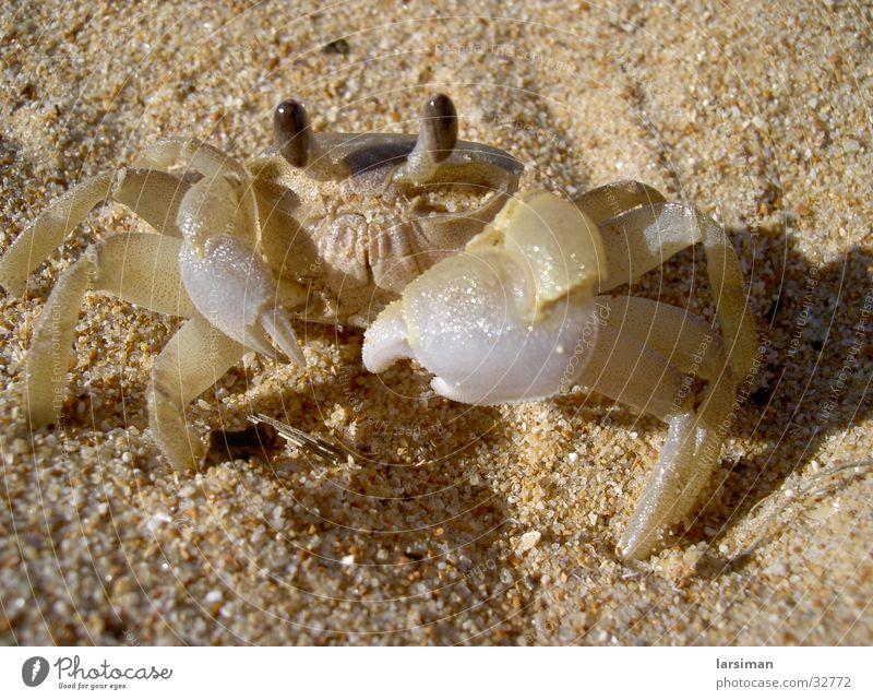 krebs Strand Australien Krebstier