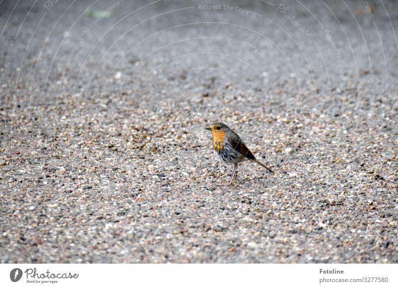 Piepmatz Natur Tier Umwelt natürlich klein orange Vogel grau Sand Park frei Erde Wildtier Flügel Urelemente nah