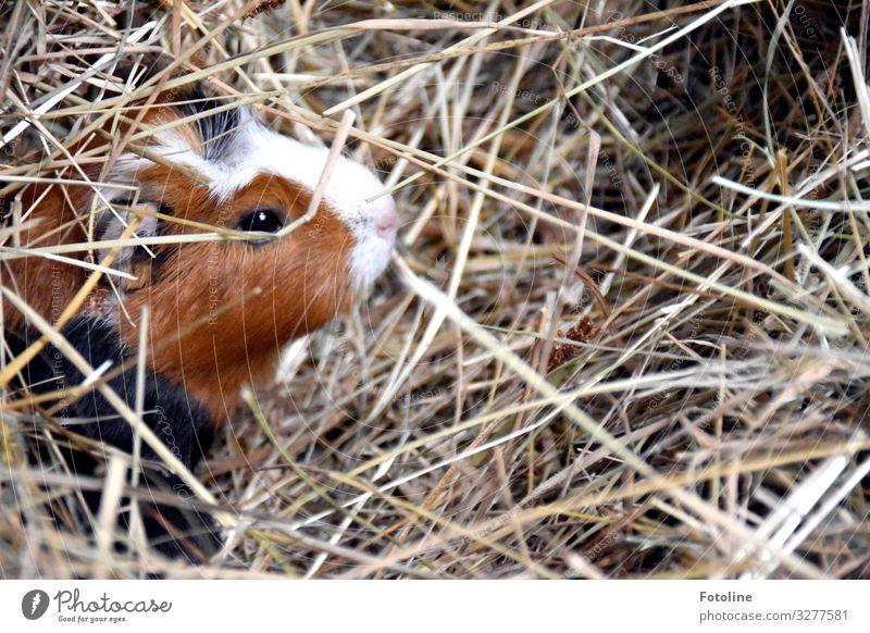 Meerschweinchenversteck Umwelt Natur Tier Schönes Wetter Haustier Tiergesicht Fell 1 hell klein nah natürlich Wärme braun schwarz weiß Säugetier Auge Stroh
