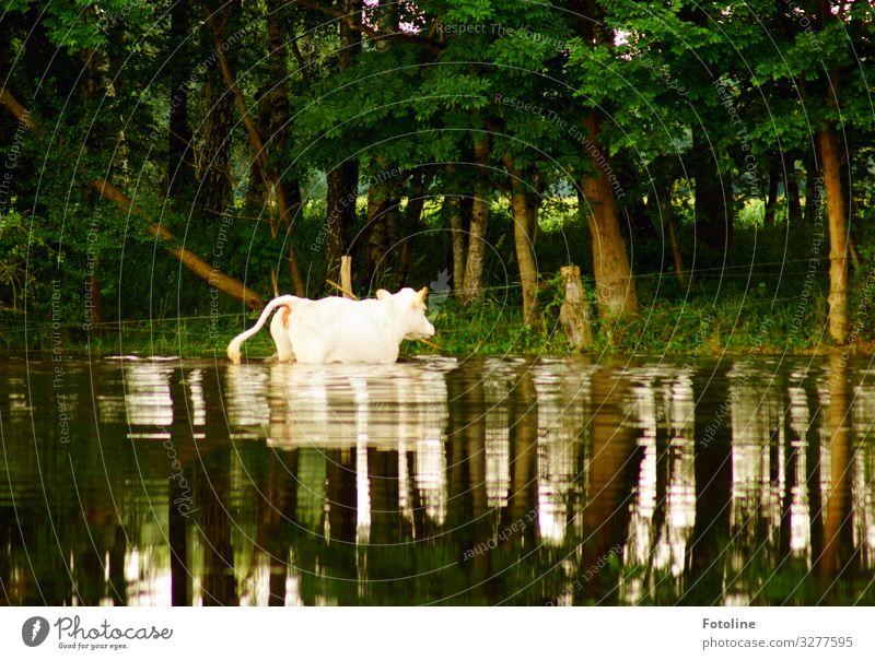 Badetag Umwelt Natur Landschaft Pflanze Tier Urelemente Wasser Sommer Schönes Wetter Baum Gras Wald Nutztier Kuh Fell 1 hell nass natürlich braun grün weiß Rind