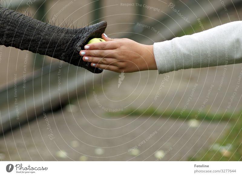 Ein Apfel für dich! Mensch feminin Junge Frau Jugendliche Arme Hand Finger Tier Wildtier Zoo 1 hell nah natürlich braun grau grün weiß Elefant Rüssel Liebe