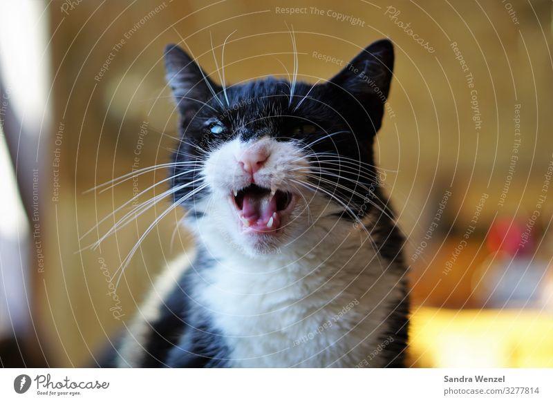Luna Katze Diät glänzend toben Aggression außergewöhnlich bedrohlich nah rebellisch fauchen Miau Zähne schwarz Farbfoto Innenaufnahme Tag Blick nach vorn