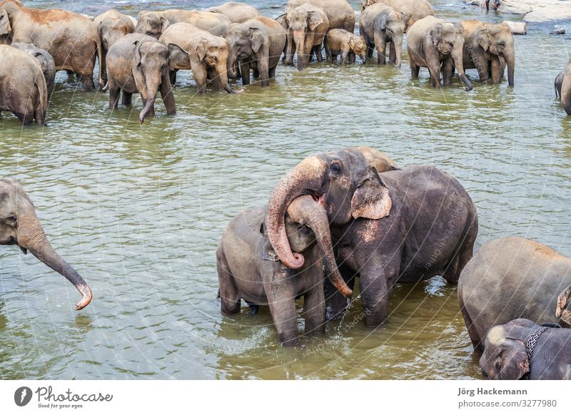 Elefanten im Fluss in Pinnawella Freude Urwald Liebe Umarmen Maha Oya Waisenhaus Pinnewalla Sri Lanka Tiere Asien asiatisch Dickhäuter pinnavela pinnawala