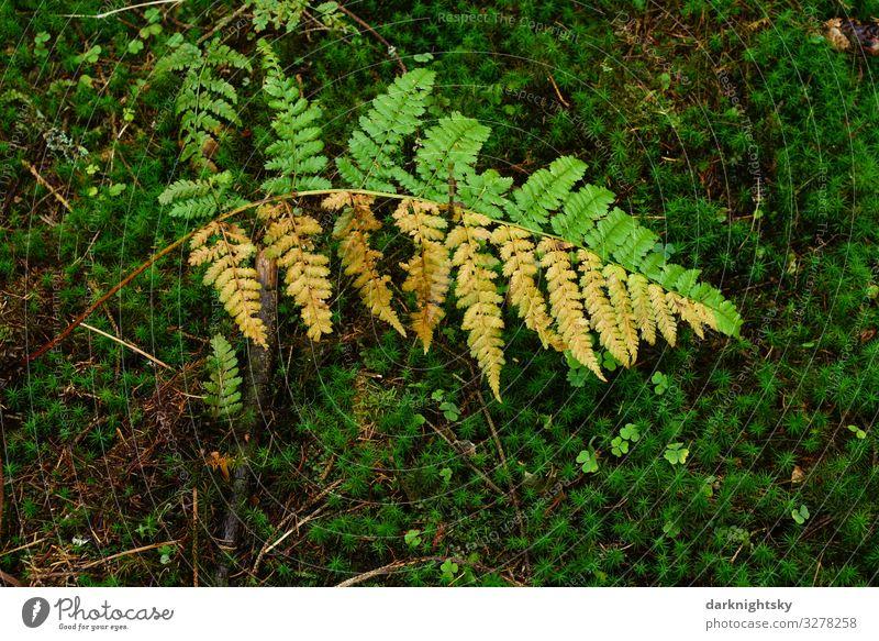 Halb verwelktes Farnkraut Osmunda regalis im Wald mit Moos. Naturmotiv mit spezieller naturnaher Gestaltung. Förster Pflanze Herbst Klimawandel Wetter