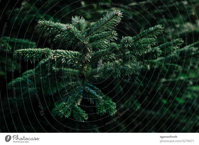 Tanne II Umwelt Natur Tier Pflanze Baum Grünpflanze Tannenzweig Tannennadel schön Weihnachten & Advent Weihnachtsbaum Farbfoto Außenaufnahme Menschenleer Tag