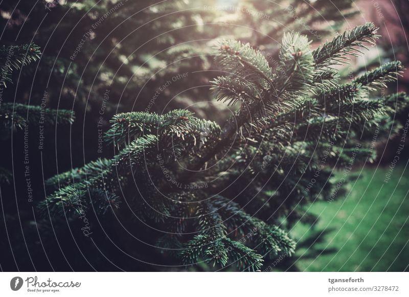 Tanne Natur Tier Pflanze Baum Grünpflanze Tannenzweig Tannennadel schön grün Weihnachten & Advent Weihnachtsbaum Farbfoto Außenaufnahme Menschenleer Tag Licht