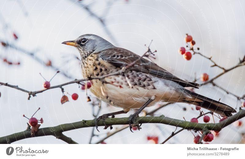 Wacholderdossel im Strauch Natur Tier Himmel Sonnenlicht Schönes Wetter Sträucher Zierapfelstrauch Zweige u. Äste Beeren Wildtier Vogel Tiergesicht Flügel