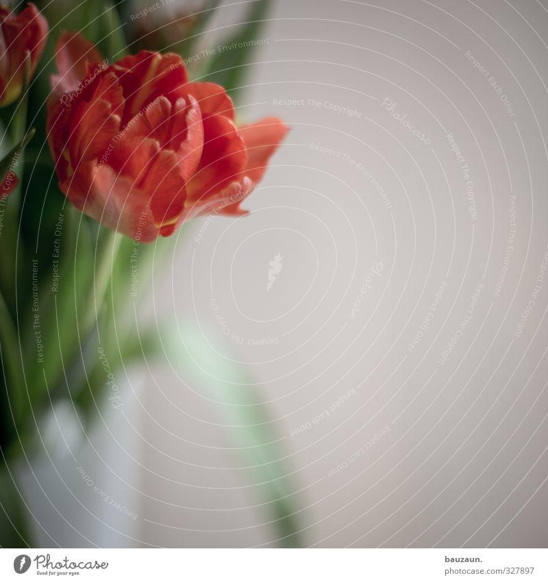 ne tulpe. grün weiß rot Blüte Gefühle Frühling Lifestyle Stimmung Häusliches Leben frisch Dekoration & Verzierung elegant ästhetisch Blühend Blumenstrauß Duft