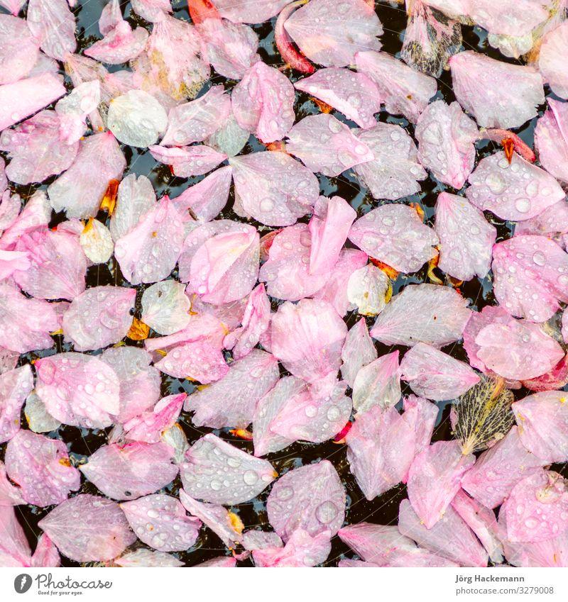 im See treibende rosa Blüten harmonisch Teich weich Gefühle Hintergrund driftend Frühling Symbole & Metaphern Wasser Zen Farbfoto Tag