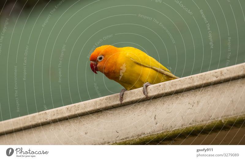 Gelber Sittich II Tier Wildtier Vogel Tiergesicht Flügel Krallen Zoo 1 beobachten entdecken Blick sitzen außergewöhnlich exotisch Fröhlichkeit schön natürlich