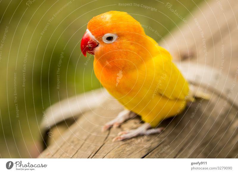 Gelber Sittich Tier Wildtier Vogel Tiergesicht Flügel Krallen Zoo beobachten entdecken genießen Ferien & Urlaub & Reisen Blick leuchten träumen außergewöhnlich