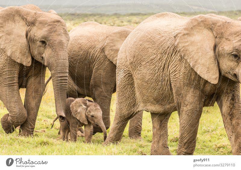 Beschützen Ferien & Urlaub & Reisen Ausflug Abenteuer Ferne Freiheit Safari Expedition Umwelt Natur Landschaft Erde Gras Südafrika Tier Wildtier Tiergesicht