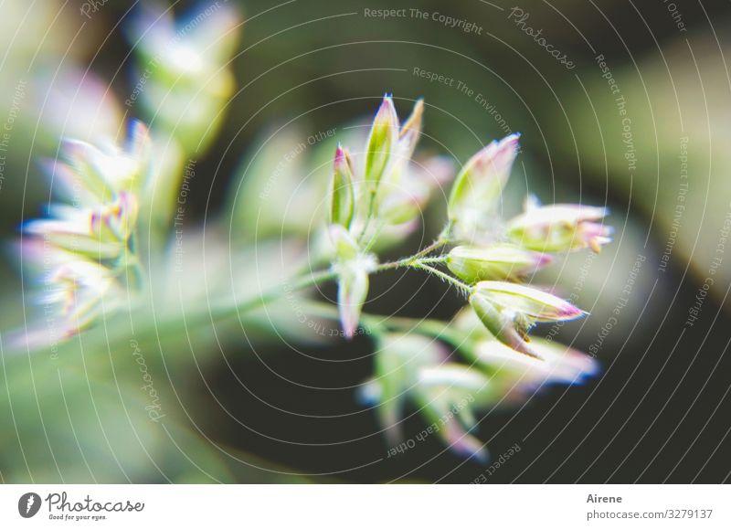irgendwas blüht immer Gras blüte knospe pflanze klein zart zierlich jung neu natur menschenleer unscharf unklar undeutlich vage grün weiß lila Frühling Sommer