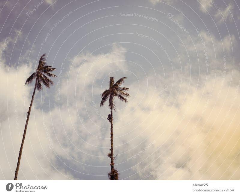 Palmen-Hintergrund mit Kopierraum exotisch schön Ferien & Urlaub & Reisen Tourismus Sommer Sonne Strand Meer Insel Natur Landschaft Pflanze Himmel Baum blau
