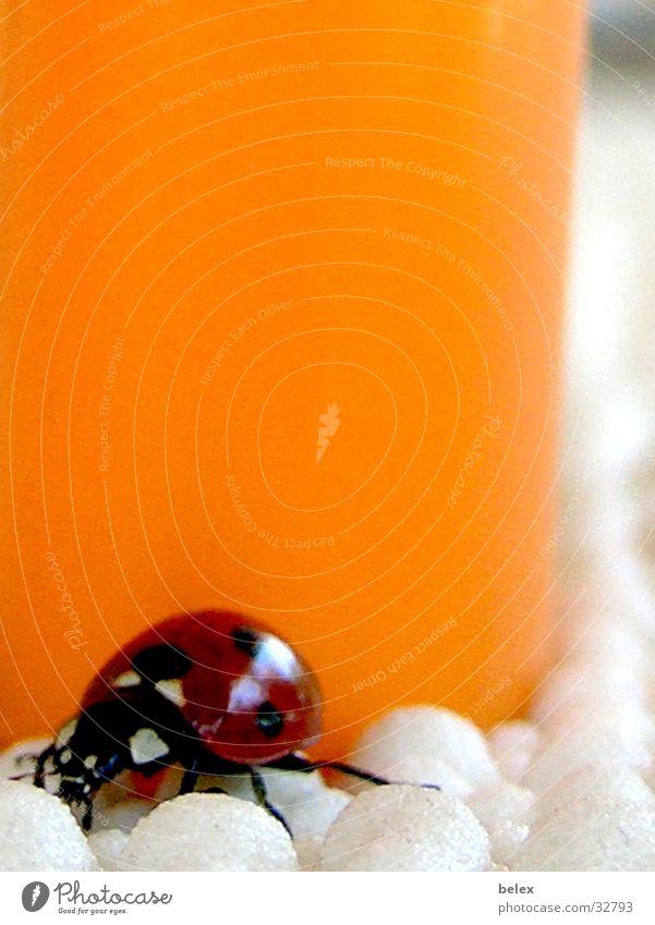 Marienkäfer Insekt Tier rot Einsamkeit Suche krabbeln Feuerzeug Käfer fliegen orange Farbe verstecken Fleck Punkt Tischwäsche