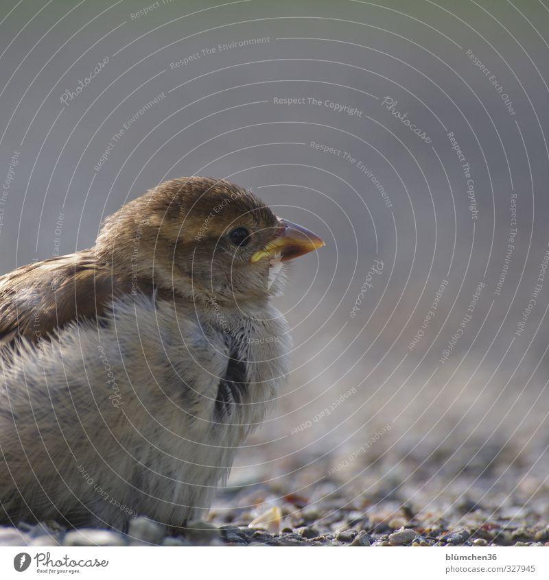 Nach dem Flugversuch Tier Auge Tierjunges grau klein natürlich braun Vogel fliegen wild Wildtier sitzen frei Feder niedlich beobachten