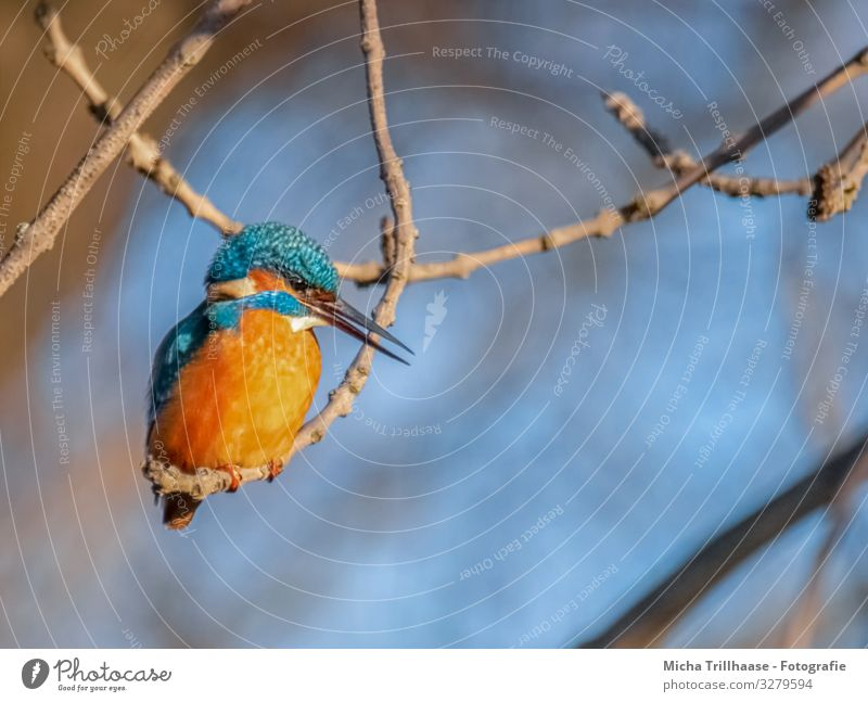 Eisvogel auf einem Zweig Natur Tier Sonnenlicht Schönes Wetter Baum Zweige u. Äste Flussufer Wildtier Vogel Tiergesicht Flügel Krallen Eisvögel Schnabel Auge