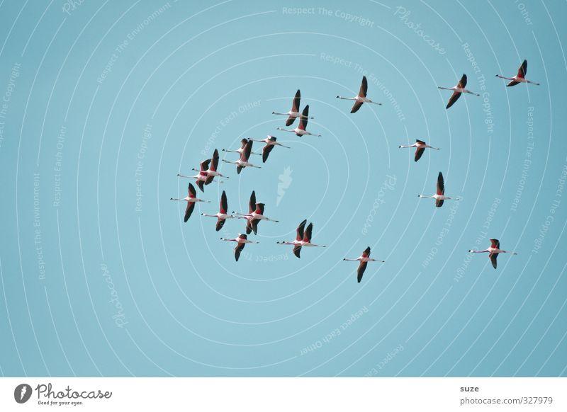 Total blau | in den Süden exotisch Ferne Freiheit Umwelt Natur Landschaft Tier Luft Himmel Wolkenloser Himmel Klima Schönes Wetter Wildtier Vogel Flamingo