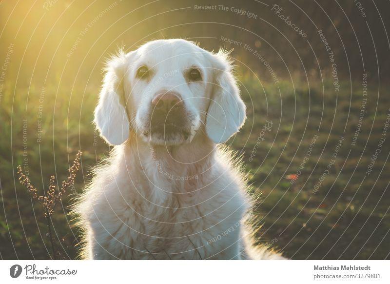 Lotta Umwelt Natur Landschaft Winter Feld Tier Haustier Hund Golden Retriever 1 Blick sitzen kuschlig natürlich weich gold grün Lebensfreude loyal Sympathie