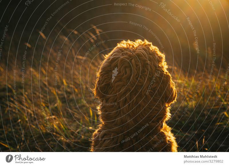 Sonnenbad Natur Landschaft Feld Tier Haustier Hund Fell Cobberdog 1 beobachten Erholung leuchten träumen natürlich niedlich weich braun gold Zufriedenheit