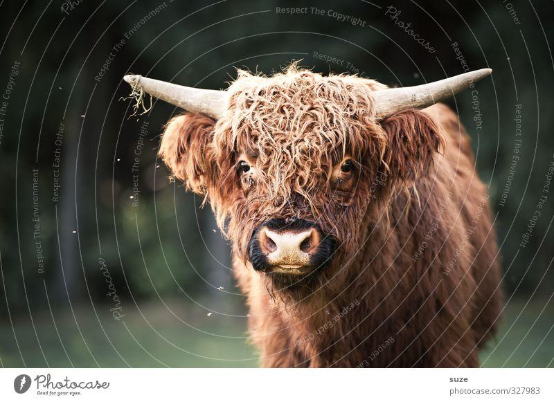 Muhchen Umwelt Natur Tier Wiese Feld Fell Nutztier Tiergesicht 1 Tierjunges kuschlig lustig niedlich braun grün Kalb Rind Weide Landleben Büffel buschig Horn