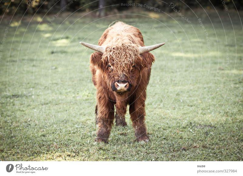Nenn mich noch einmal Baby! Umwelt Natur Tier Wiese Feld Fell Nutztier Tiergesicht 1 Tierjunges kuschlig klein lustig niedlich braun grün Kalb Rind Weide