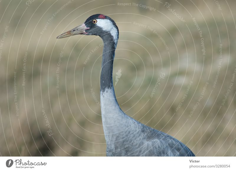 Gemeiner Kranich (Grus grus). Naturschutzgebiet der Lagune von Gallocanta. Aragonien. Spanien. Tier Vogel natürlich wild Tiere aragonisch Biodiversität