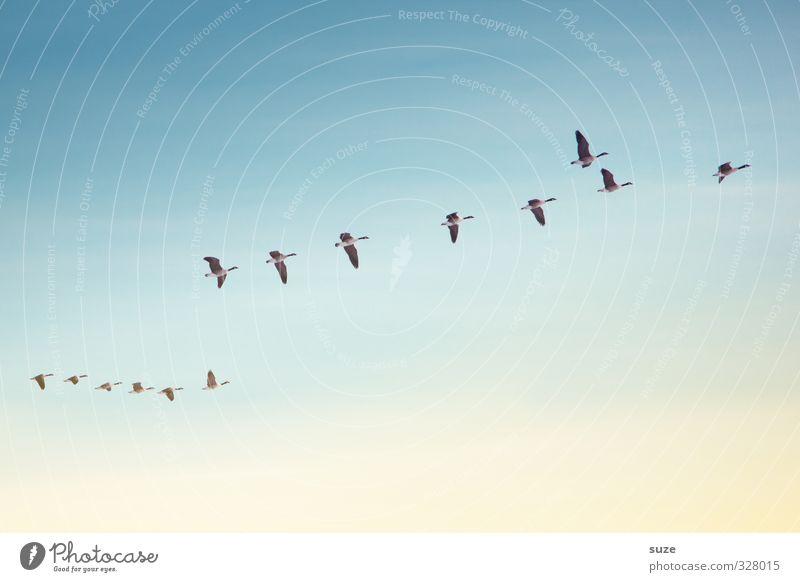 Ganstagsflieger Ferne Freiheit Umwelt Natur Landschaft Tier Luft Himmel Wolkenloser Himmel Klima Schönes Wetter Wildtier Vogel Tiergruppe Schwarm fliegen