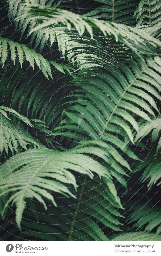 Farne Umwelt Natur Pflanze Grünpflanze Wildpflanze Wald Menschenleer ästhetisch dunkel natürlich Spitze grün Farnblatt frisch Botanik organisch Farbfoto
