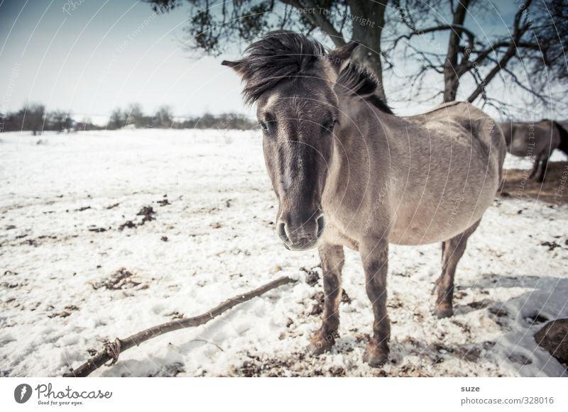 Kuhles Färt Winter Schnee Umwelt Natur Landschaft Tier Himmel Horizont Wind Wildtier Pferd Tiergesicht 1 Herde stehen authentisch kalt niedlich wild blau weiß