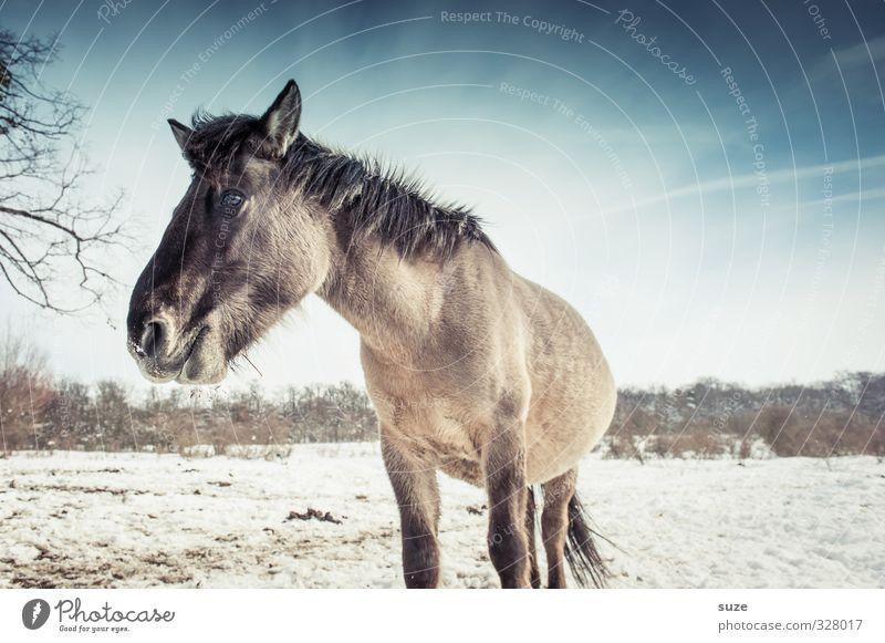 Wild life Winter Schnee Umwelt Natur Tier Himmel Horizont Wildtier Pferd Tiergesicht 1 stehen authentisch kalt niedlich wild blau weiß Mähne Pferdekopf