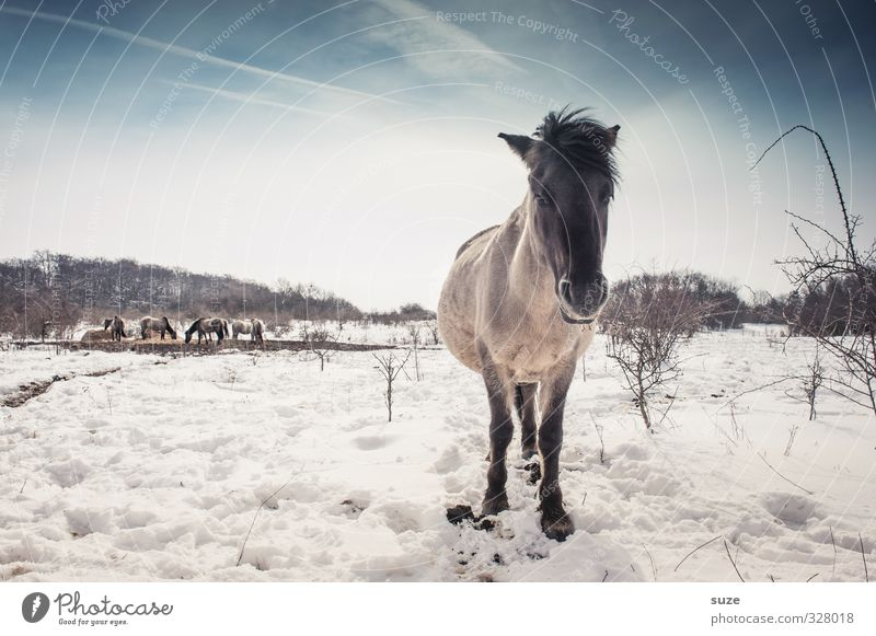 Schwarz geärgert Winter Schnee Umwelt Natur Tier Himmel Horizont Wildtier Pferd Tiergesicht 1 Herde stehen authentisch kalt niedlich wild blau weiß Mähne