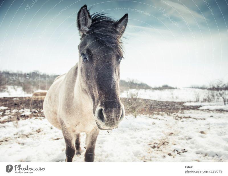 Schwarzkopf schön Winter Schnee Umwelt Natur Tier Himmel Wildtier Pferd Tiergesicht 1 Blick stehen authentisch kalt niedlich wild blau weiß Mähne Pferdekopf