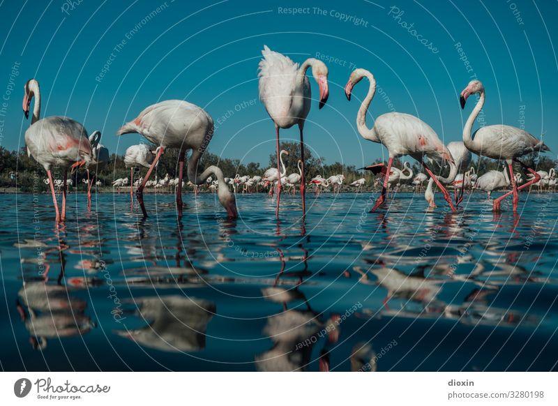 Flamingo Lagoon [2] Umwelt Natur Landschaft Tier Wasser Himmel Wolkenloser Himmel Wetter Schönes Wetter Wellen Küste Bucht Meer Lagune Wildtier Vogel Tiergruppe