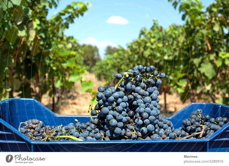 Rotweintrauben Frucht Diät Sommer Natur Blatt Nutzpflanze frisch natürlich blau grün rot Farbe Weintrauben Weinberg Hintergrund Ackerbau purpur Berghang reif