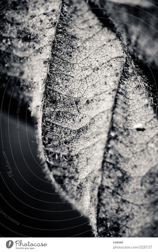 Brombeerblatt Natur alt Pflanze Sommer weiß Landschaft Blatt schwarz Umwelt Leben Gesundheit grau Garten Linie ästhetisch Sträucher