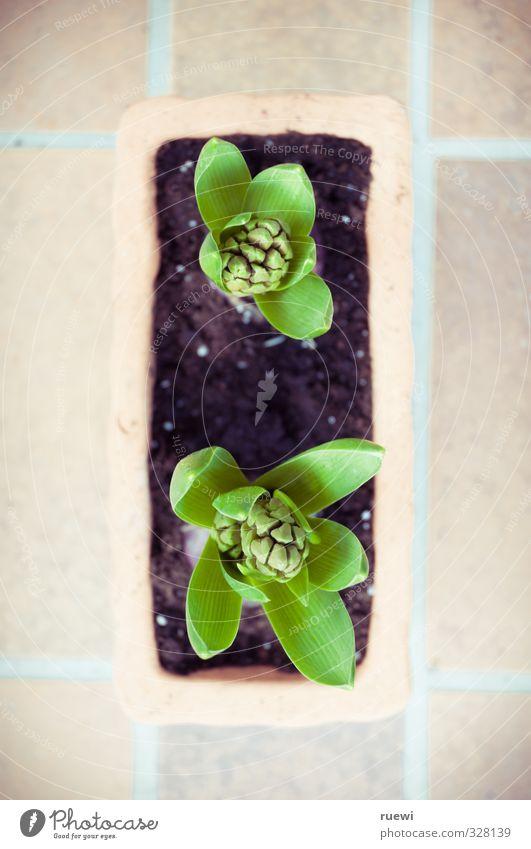 Hyazinthen Natur Pflanze schön grün Blatt Umwelt Frühling Garten Stein Freizeit & Hobby Wachstum Häusliches Leben Erde Bodenbelag Balkon Fliesen u. Kacheln